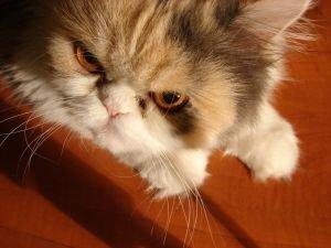 http://jaded16.files.wordpress.com/2010/04/angry-cat-01.jpg